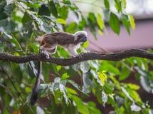 Flaumige kleine Tamarins Ödipus, der durch den Baum Werke in Singapur-Zoo läuft Lizenzfreie Stockfotos