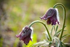 Flaumige Knospe der pasque Blume Stockfotografie