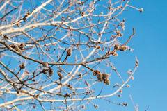 Flaumige Knospen auf Niederlassungen des Frühlingsweidenbaums gegen Hintergrund des blauen Himmels Lizenzfreies Stockfoto