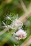 Flaumige Löwenzahn ähnliche Blume Stockfoto