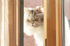 Flaumige persische Schwarzweiss-Katze auf dem Balkon lizenzfreies stockbild