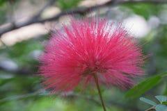 Flaumige rosa Mimosenblume Lizenzfreie Stockfotos