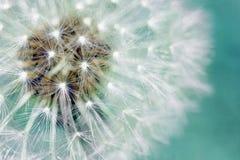 Flaumige Samen des Löwenzahns über Blau Stockfoto