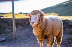 Flaumige Schafe Lizenzfreies Stockfoto