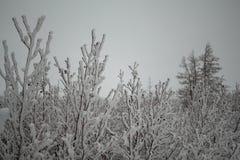 Flaumige schneebedeckte Bäume des Winters, Norilsk stockfotos