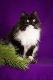 Flaumige Schwarzweiss-Katze, die auf einem Purpur sitzt Stockfotos