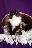 Flaumige Schwarzweiss-Katze, die auf einem Spitzeschleier nahe dem Korb sitzt Purpurroter Hintergrund Lizenzfreie Stockfotos