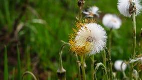 Flaumige Stiefmutter der Blume Stockbild