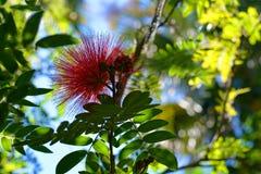 Flaumige tropische blühende Pflanze Stockbilder