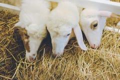 Flaumige weiße Schafe in einem kleinen sauberen Bauernhofscheunenessen köstlich Lizenzfreie Stockbilder