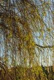 Flaumige Weidenkätzchen auf einem dünnen Zweig Lizenzfreies Stockfoto