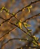 Flaumige Weidenkätzchen auf einem dünnen Zweig Stockbild