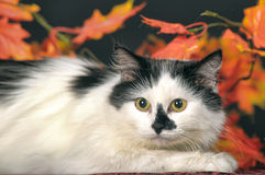 Flaumige weiße Katze mit schwarzen Flecken auf einem Hintergrund des Herbstlaubs Stockfotos
