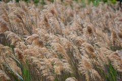 Flaumige Weizenstämme, die im Wind durchbrennen stockbilder