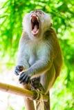 Flaumiger Affe im Dschungel mit offenem Mund und den scharfen Zähnen Lizenzfreie Stockfotografie