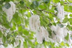 Flaumiger Baum sät Pappel Wiedergabe von Bäumen Lizenzfreies Stockfoto