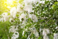 Flaumiger Baum sät Pappel Wiedergabe von Bäumen Lizenzfreie Stockfotos