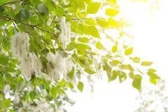 Flaumiger Baum sät Pappel Wiedergabe von Bäumen Lizenzfreie Stockfotografie