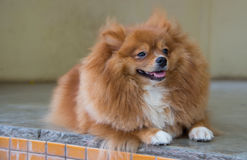 Flaumiger brauner Hund Lizenzfreie Stockfotos