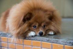 Flaumiger brauner Hund Stockfotos