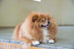 Flaumiger brauner Hund Stockbild