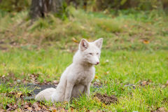 Flaumiger Fox im Weiß Jagden auf dem Gebiet stockfotos