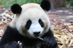 Flaumiger großer Panda, Chengdu-Pandabasis, Chian stockbild