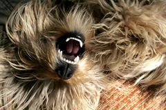 Flaumiger Hund Stockfotografie
