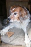 Flaumiger Hund in der Hundehütte mit Hundekuchen Stockfoto
