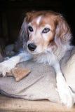Flaumiger Hund in der Hundehütte mit Hundekuchen Stockbild