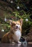 Flaumiger Hund des Corgi stockfotografie