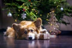 Flaumiger Hund des Corgi lizenzfreie stockbilder