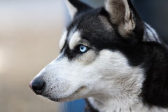 Flaumiger Husky Dog Portrait Syberian Husky Dog Portrait Stockbild
