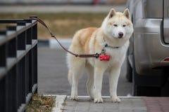 Flaumiger Husky Dog Standing Next, zum des Zauns zu schwärzen Syberian Husky Do Stockfotos