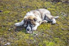Flaumiger kaukasischer Schäferhund liegt aus den Grund Stockfotografie