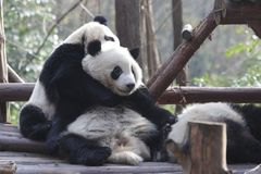 Flaumiger Panda Bears in Chengdu, China stockfotos