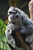 Flaumiger Pelz auf einem Langur-Affen auf einem Baumast Lizenzfreies Stockfoto