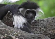 Flaumiger Pelzcolobus-Affe-oben Abschluss und persönlich Lizenzfreie Stockbilder