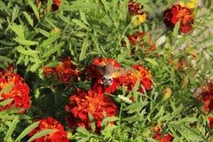 Flaumiger Schmetterling auf roten Ringelblumen stockfotos