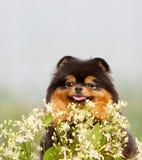Flaumiger schwarzer und roter Hund und Blumen Weiß-grüne Anlagen und schöner Welpe Porträt einer Nahaufnahme von Spitz Stockfoto