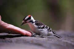 Flaumiger Specht, der Erdnüsse vom birdwatcher nimmt Lizenzfreies Stockbild