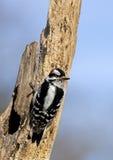 Flaumiger Specht (Picoides pubescens) stockfotografie