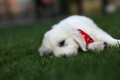 Flaumiger weißer Welpe, der auf Gras legt Stockbild