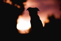 Flaumiger Welpe border collie, das auf einem Sonnenunterganghintergrund sitzt Lizenzfreie Stockfotografie