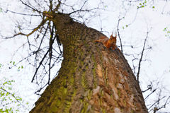 Flaumiges braunes Eichhörnchen lizenzfreies stockbild
