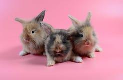Flaumiges braunes Häschen drei auf sauberem rosa Hintergrund, kleines Kaninchen lizenzfreie stockbilder