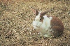 Flaumiges braunes Kaninchen Lizenzfreies Stockbild