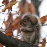 Flaumiges Eichhörnchen Lizenzfreies Stockfoto