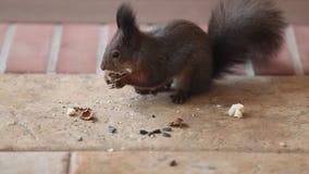 Flaumiges Eichhörnchen fand, dass Walnuss auf Boden ihn aß stock video