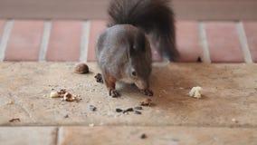 Flaumiges Eichhörnchen fand, dass Walnuss auf Boden ihn aß stock video footage